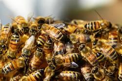 Illustration zum Thema Bienen/Tierseuche