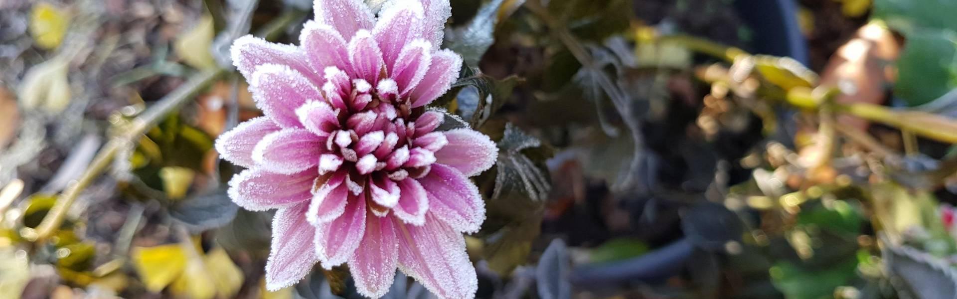 Der erste Frost dieses Herbst lässt eine Dahlienblüte erstarren ©Landratsamt Saale-Orla-Kreis, Pressestelle