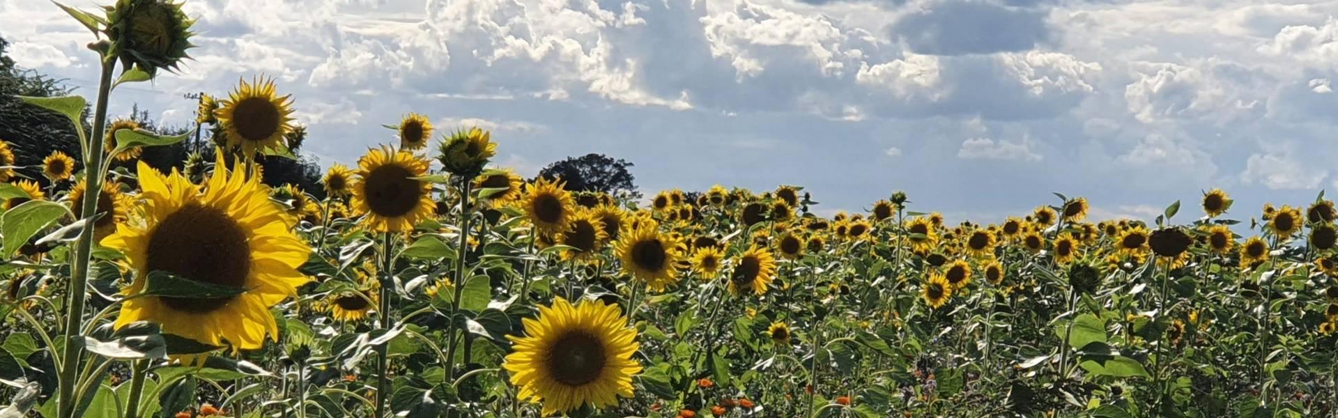 Sonnenblumenfeld ©Landratsamt Saale-Orla-Kreis, Pressestelle