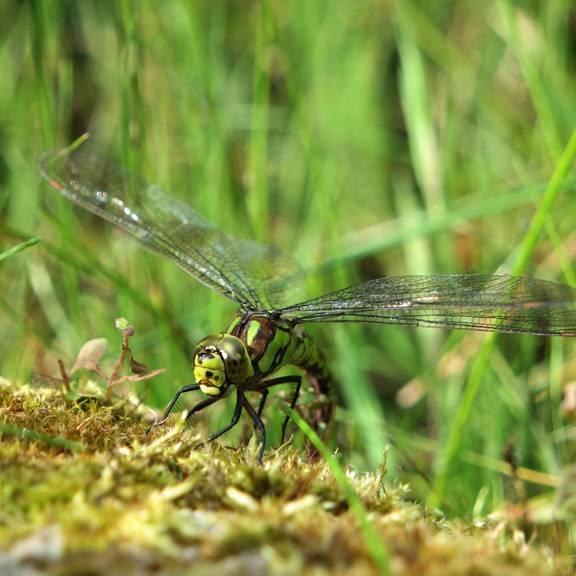 Libelle am kleinen Teich